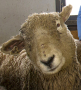 One of the sheep tended by biology major Corine Giroux for a NYSDOT study