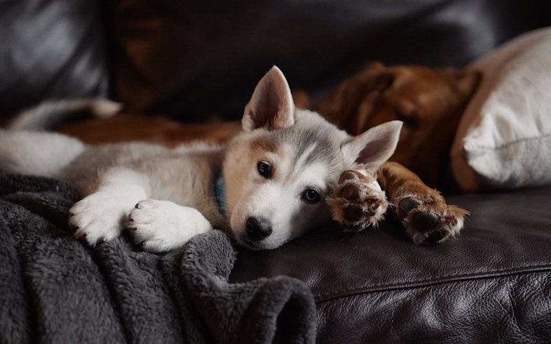 A grey and white husky puppy lays on a brown leather couch with a brown fluffy blanket, looking straight into the camera.