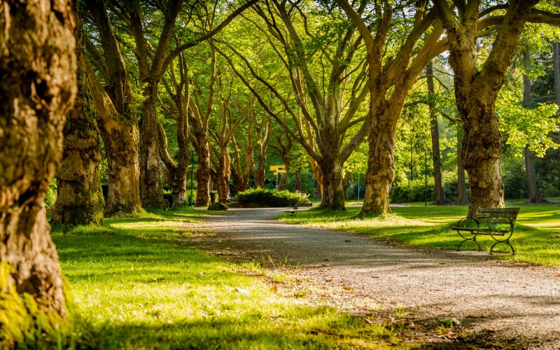 Sunlight shining on a walking path lined by large trees in a park full of greenness.